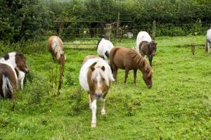 Ponies Near Isolation Hospital
